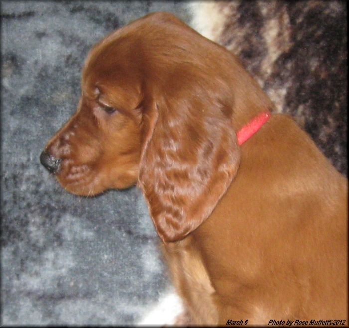 First Born ~ AKC Irish Setter Puppy For Sale