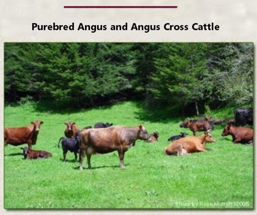 Cows and their Calves at Reedsport